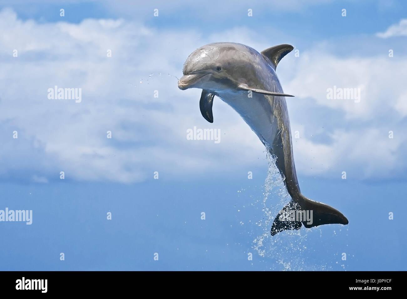 Juvenile Bottlenose Dolphin, Tursiops truncatus, Caribbean, Bahamas - Stock Image