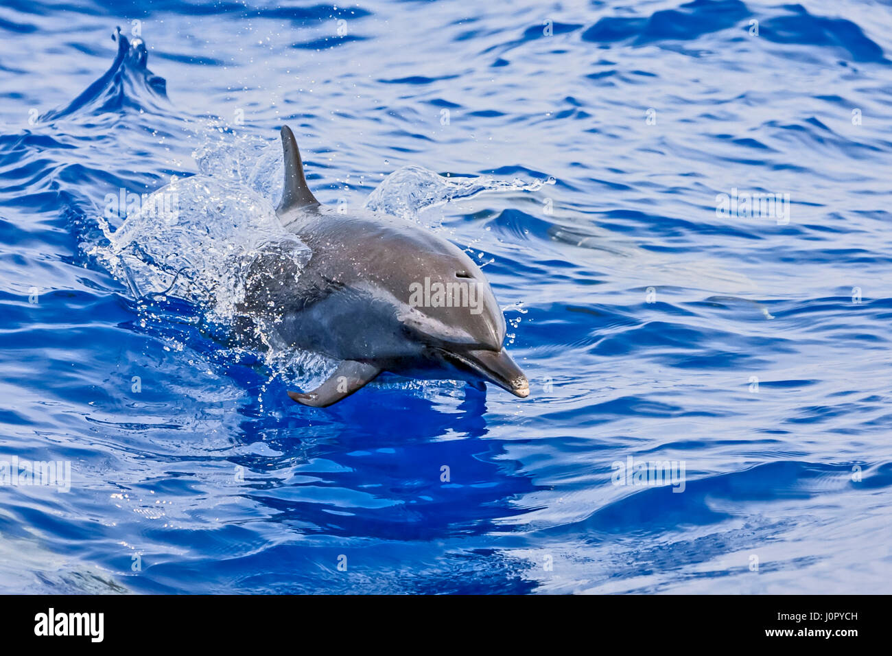 Pantropical Spotted Dolphin, Stenella attenuata, Hawaii, USA Stock Photo