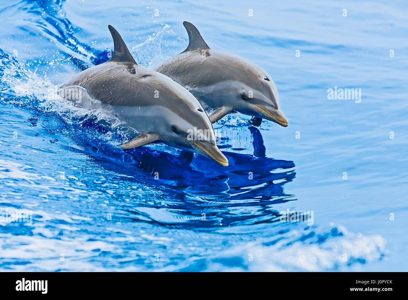 Pantropical Spotted Dolphin, Stenella attenuata, Hawaii, USA Stock Photo