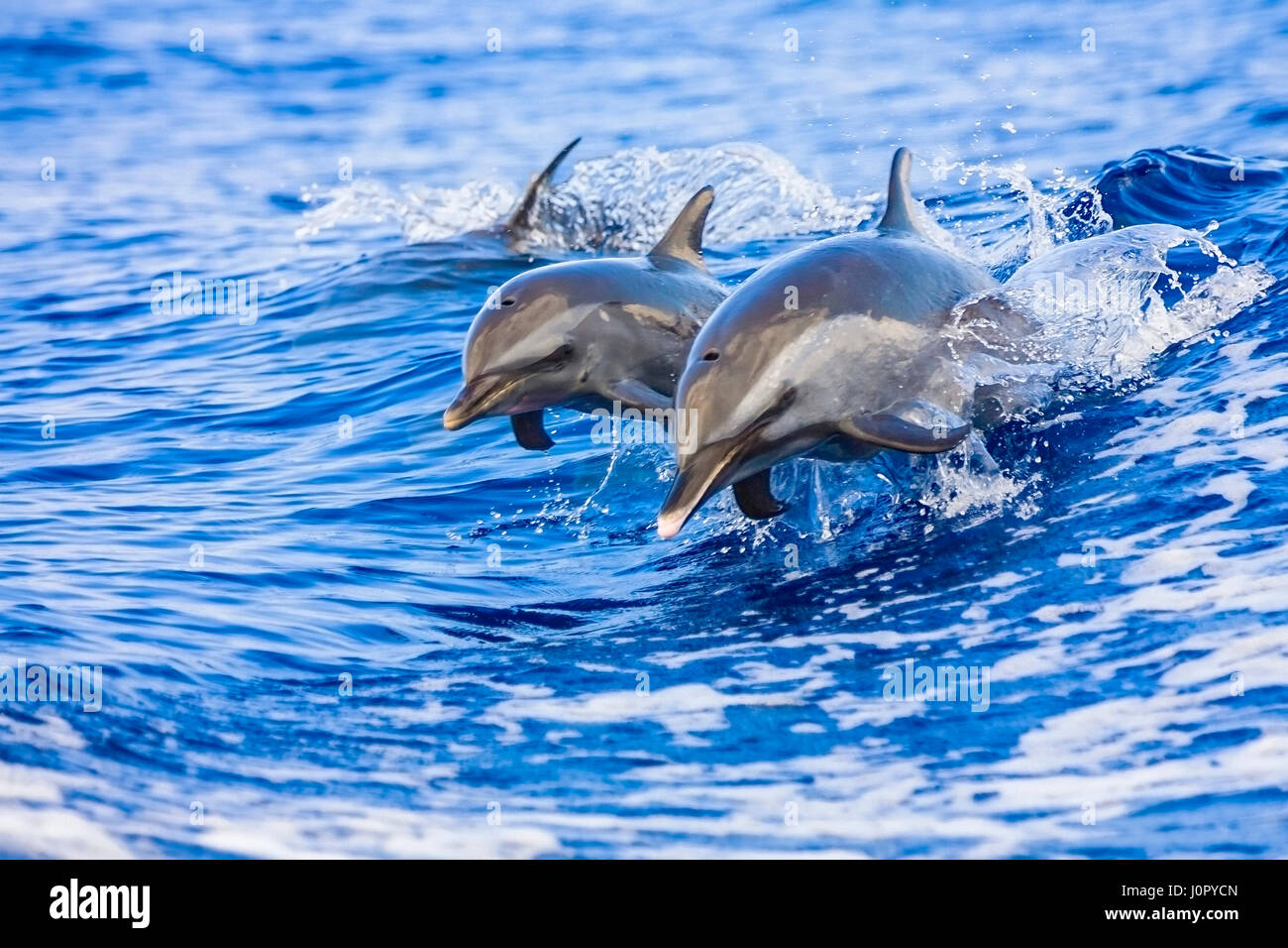 Pantropical Spotted Dolphin, Mother and Calf, Stenella attenuata, Hawaii, USA - Stock Image