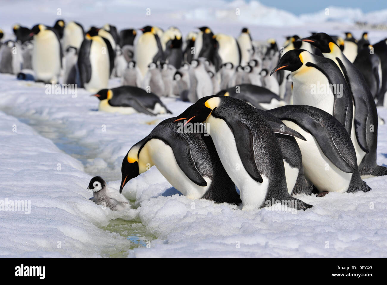 Emperor Penguins with chick - Stock Image