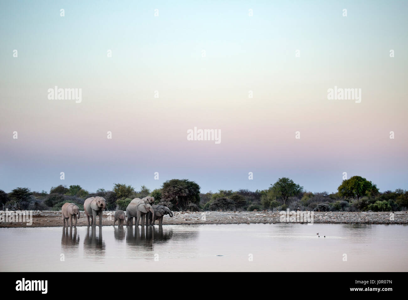 Elephant herd at a water hole - Stock Image