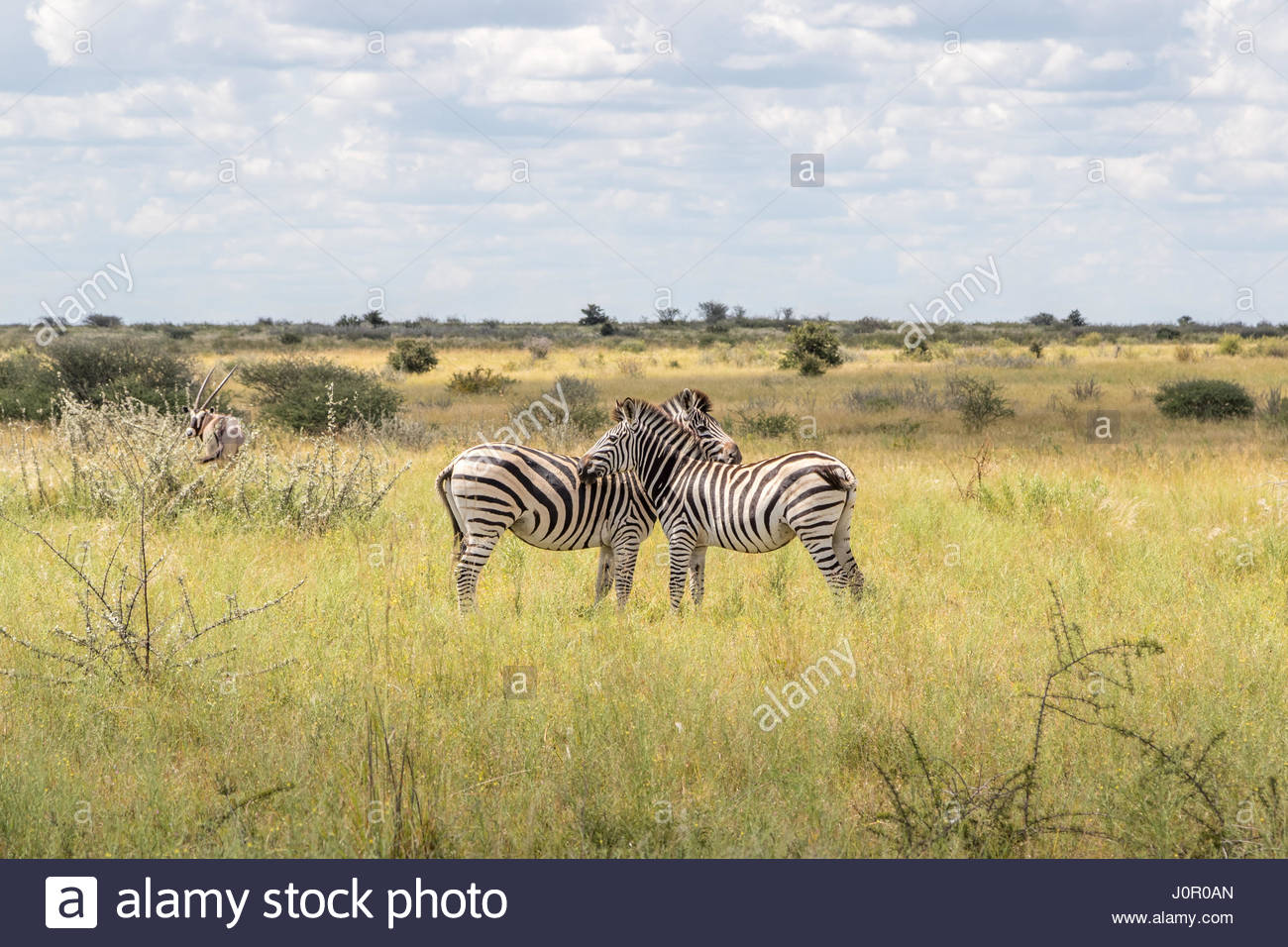 A pair of Zebra displaying typical grooming and chin resting behaviour in Nxai Pans, Botswana Stock Photo