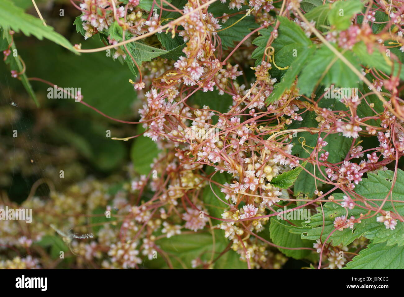 Cuscuta, dodder, parasitic plants - Stock Image