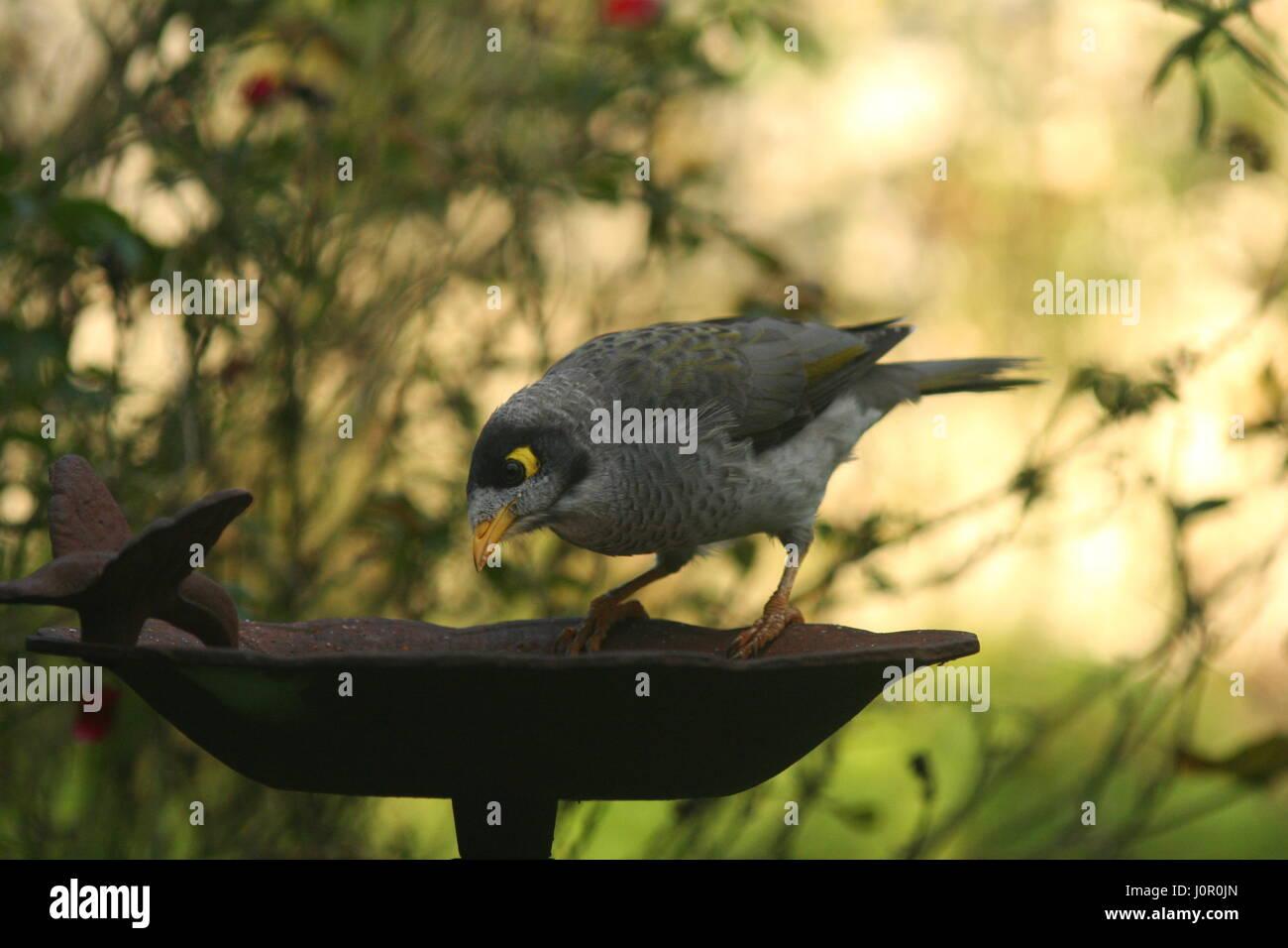 Noisey Miner Australian native bird - Stock Image