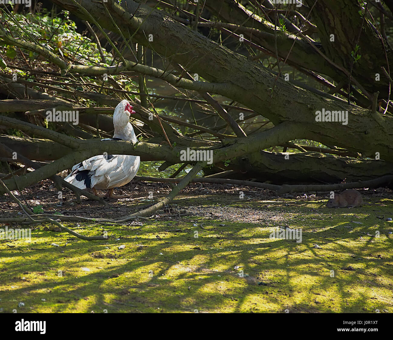 Muscovy duck and rat eating the same food in woods.Animal behaviour,pest infestation problem.Westport lake,Stoke - Stock Image