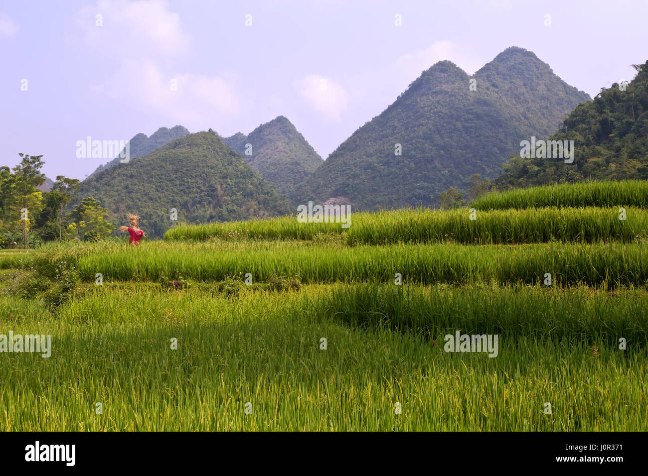 Maturing terraced rice fields, scarecrow overlooking,  Muong Thanh, Dien Bien Province, Vietnam, Indochina. - Stock Image
