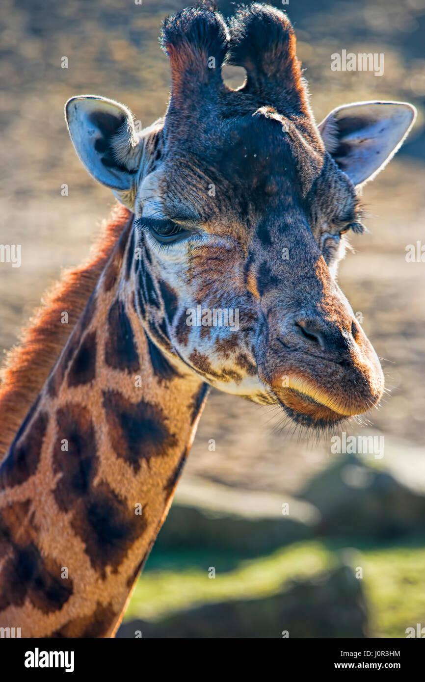 Giraffe head eating closeup, Dublin zoo - Stock Image