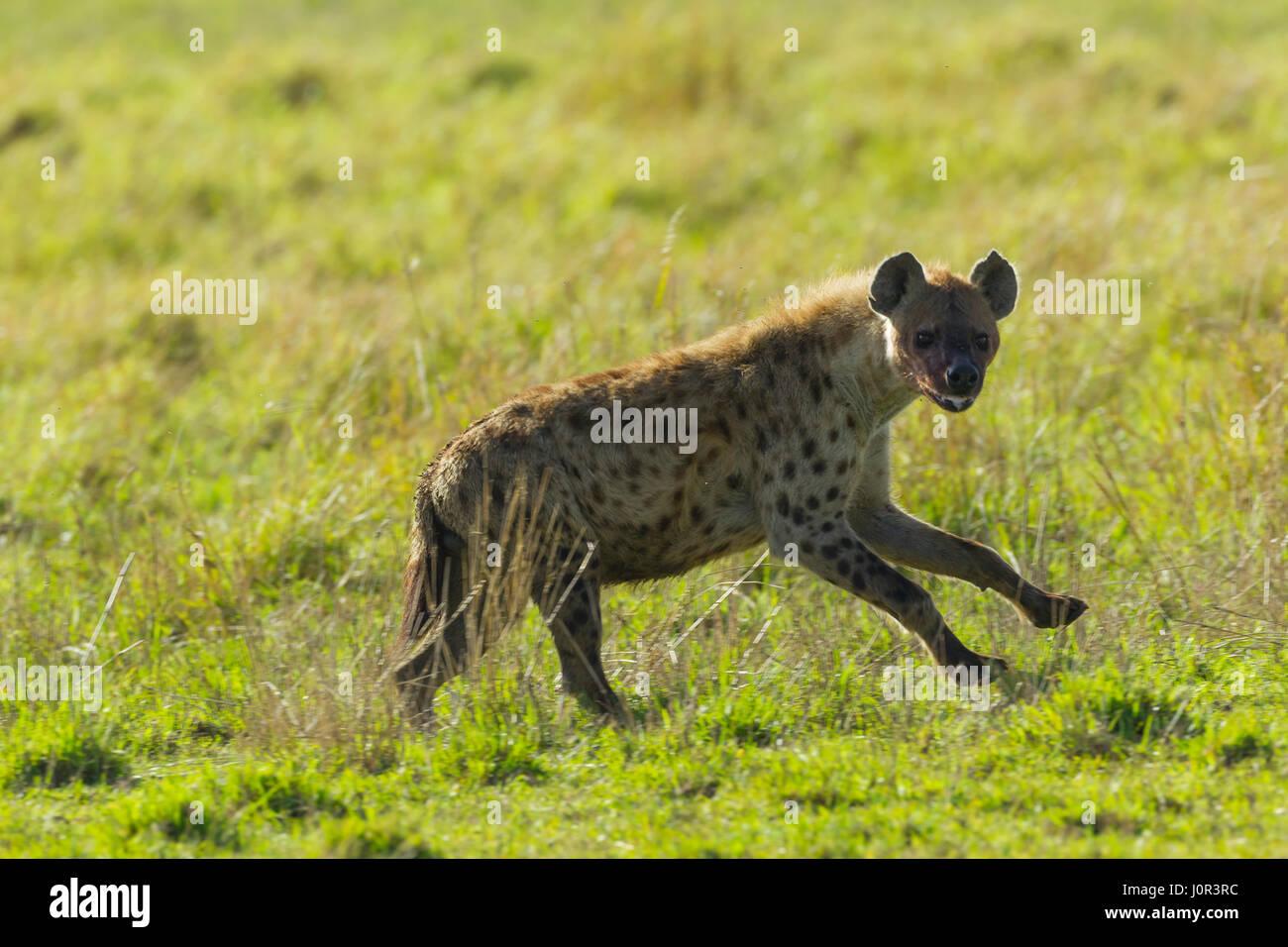 Spotted Hyena (Crocuta crocuta) running across the savannah, Masai Mara National Reserve, Kenya - Stock Image
