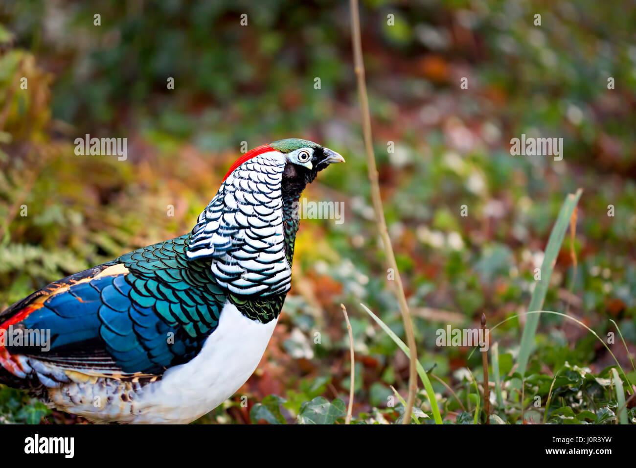 Lady Amherst's pheasant - Stock Image