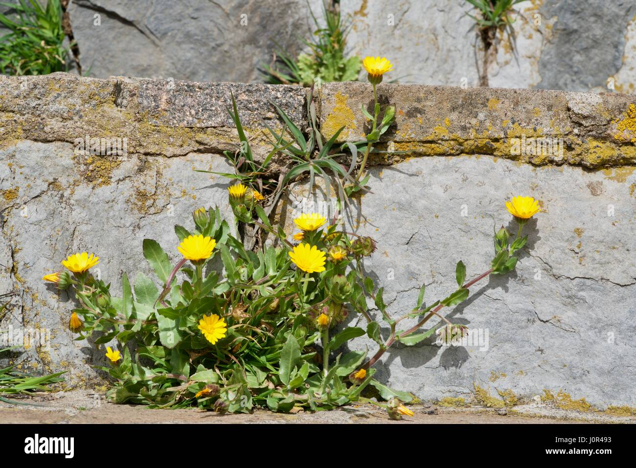 pallensis maritima in front of a wall - Stock Image