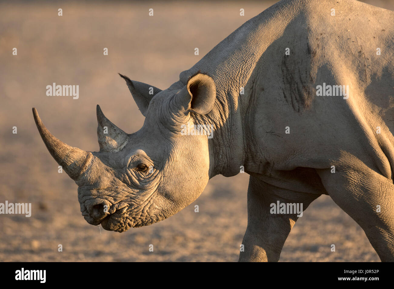 Black Rhino walking to a water hole. - Stock Image