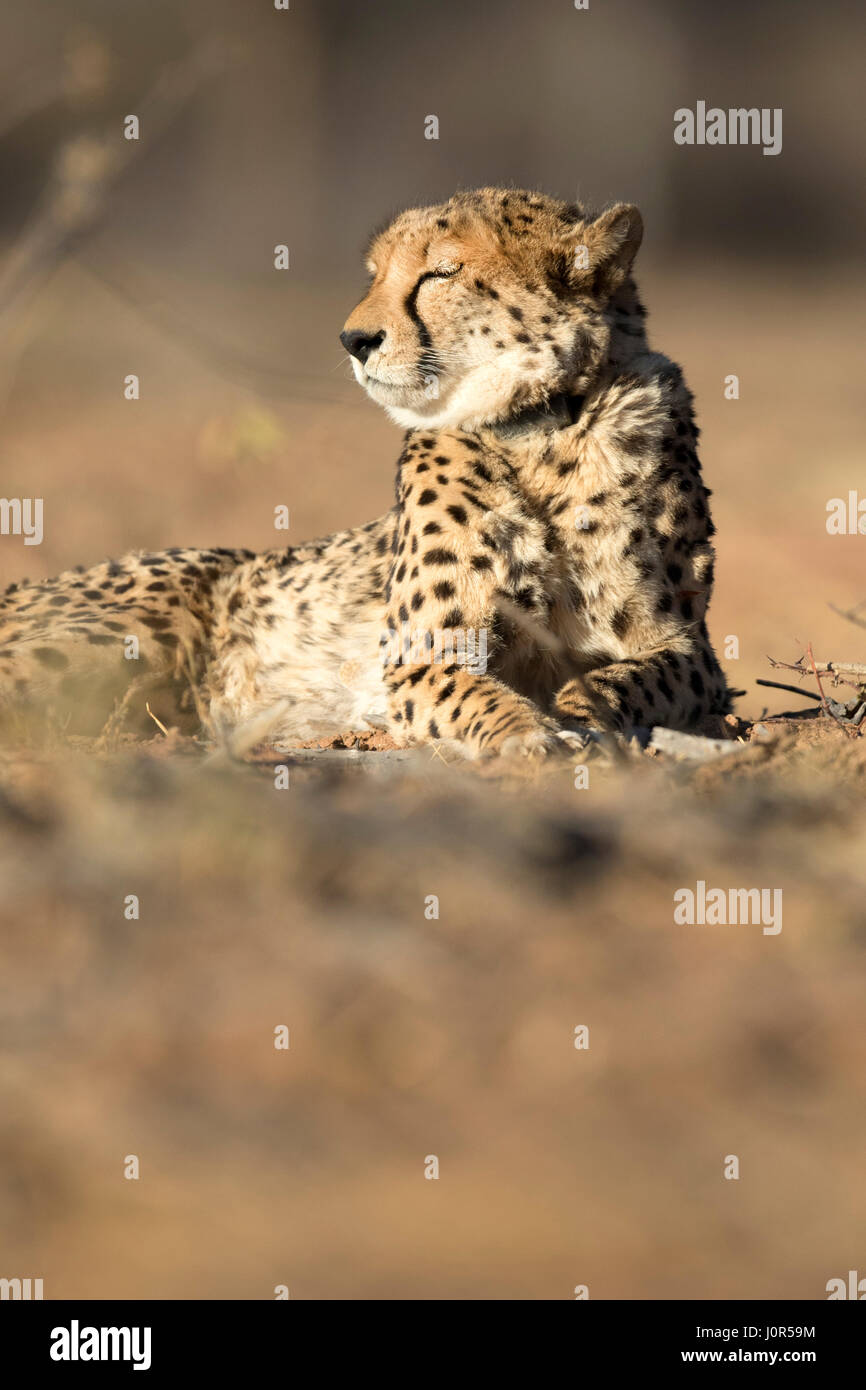 Cheetah in the morning light. - Stock Image