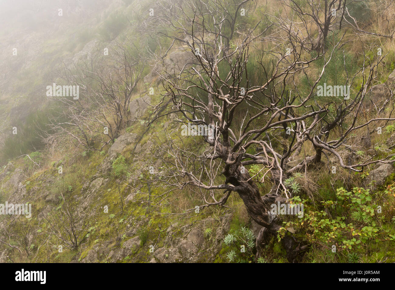 A twisted and blackened tree showing fire damage from a forest fire started by arson in August 2016, above Curral - Stock Image