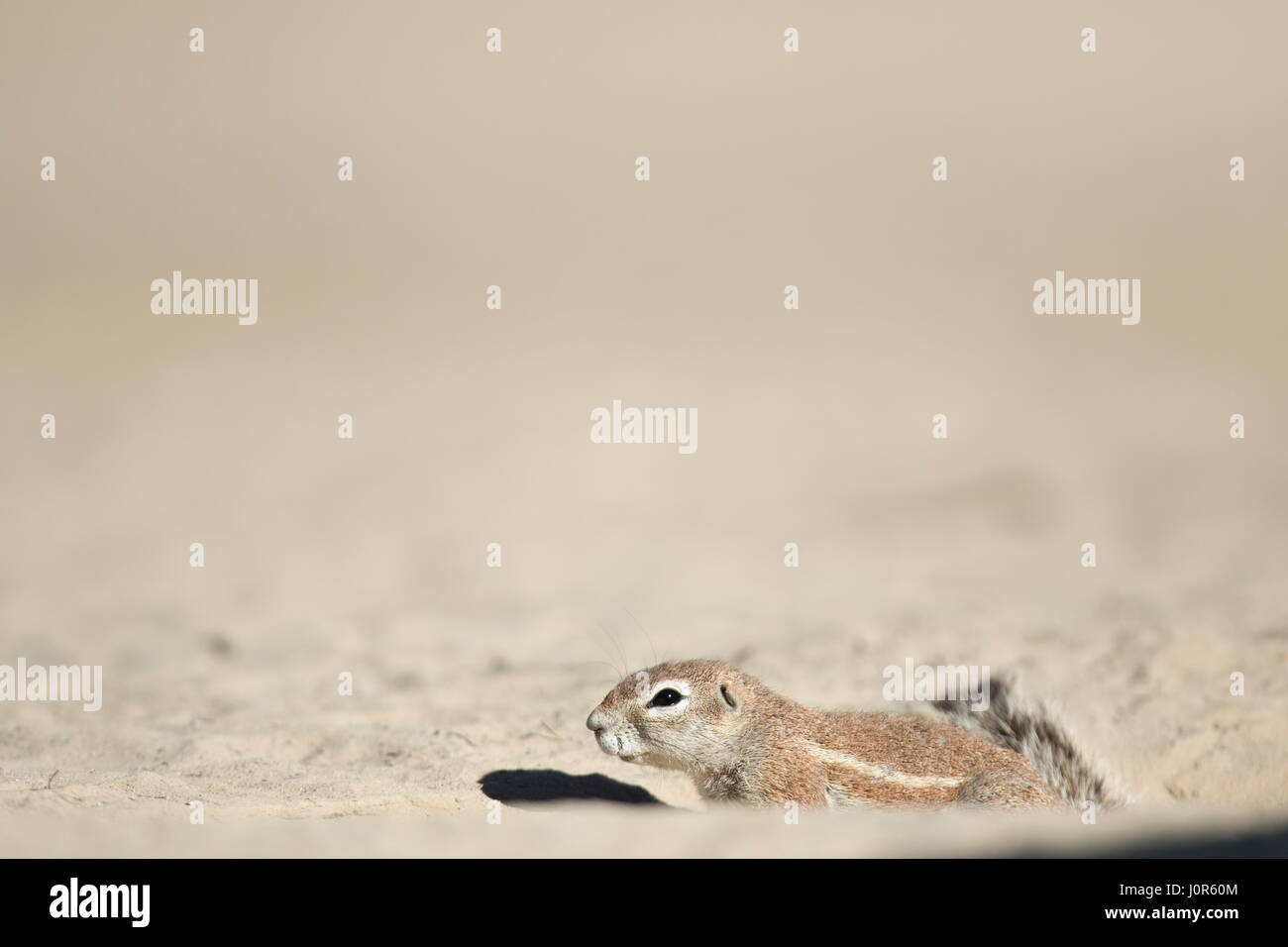 Ground Squirrel - Stock Image