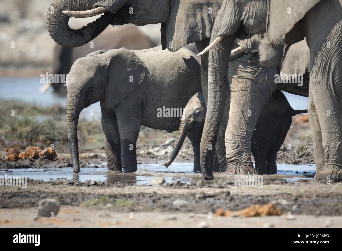 Elephant calf in Etosha National Park. - Stock Image