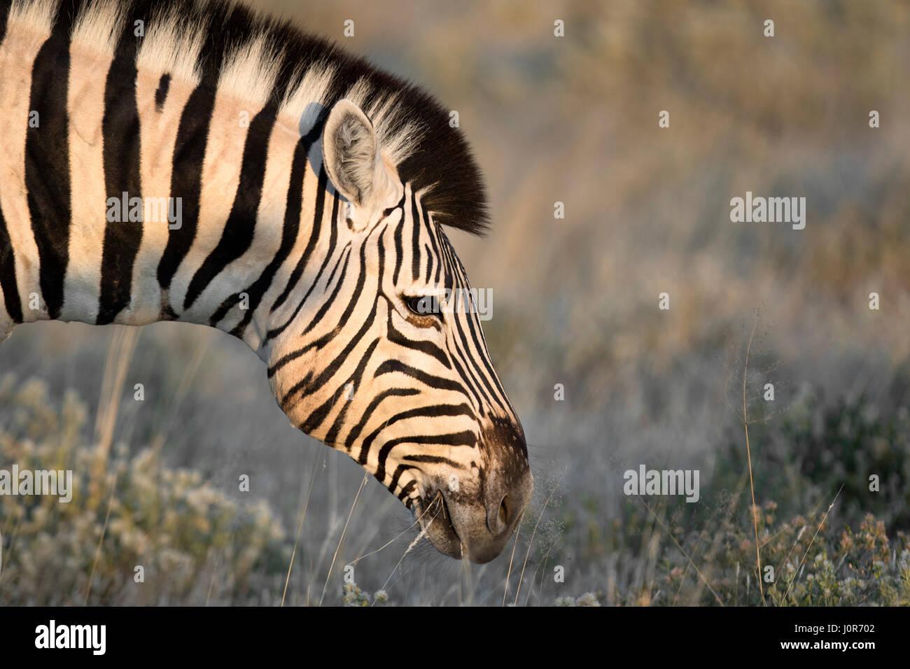 Zebra grazing in Etosha National Park. Stock Photo