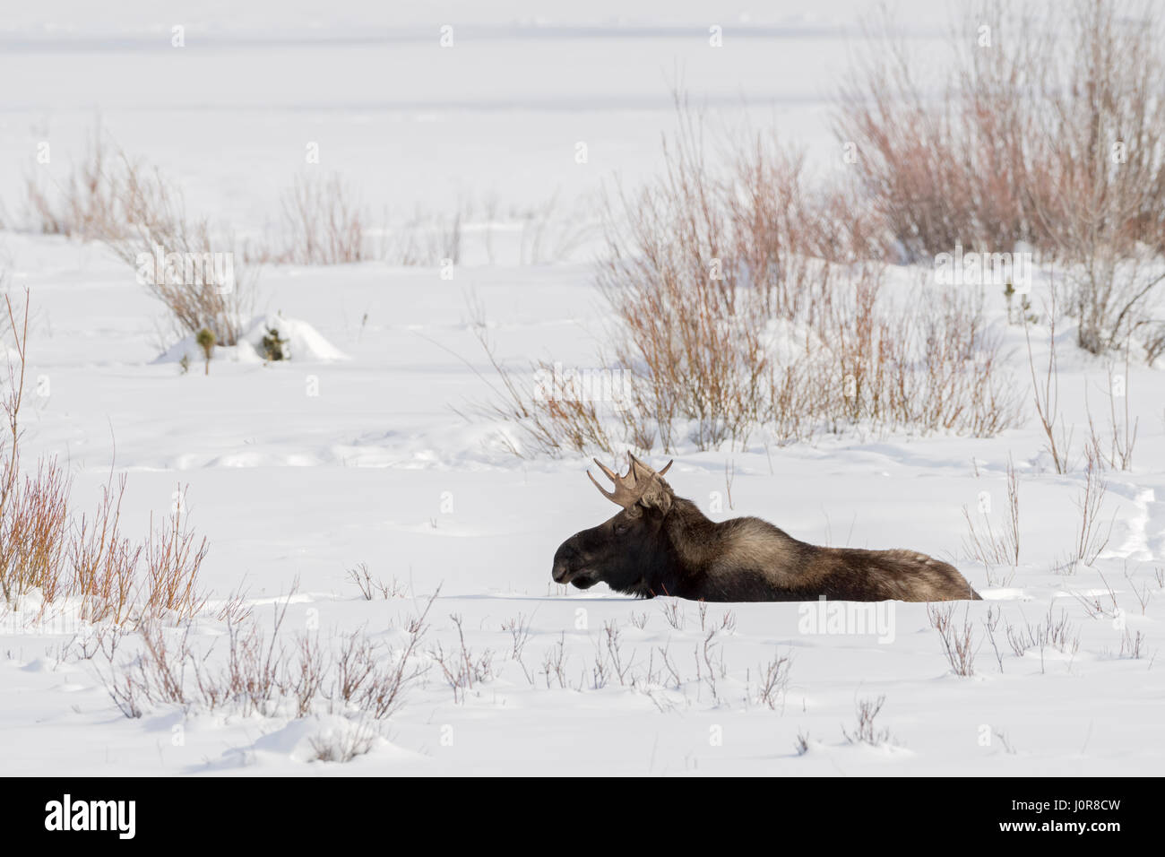 Moose / Elch ( Alces alces ), young bull, resting, lying, ruminating in snow, winter, Yellowstone NP, USA. - Stock Image