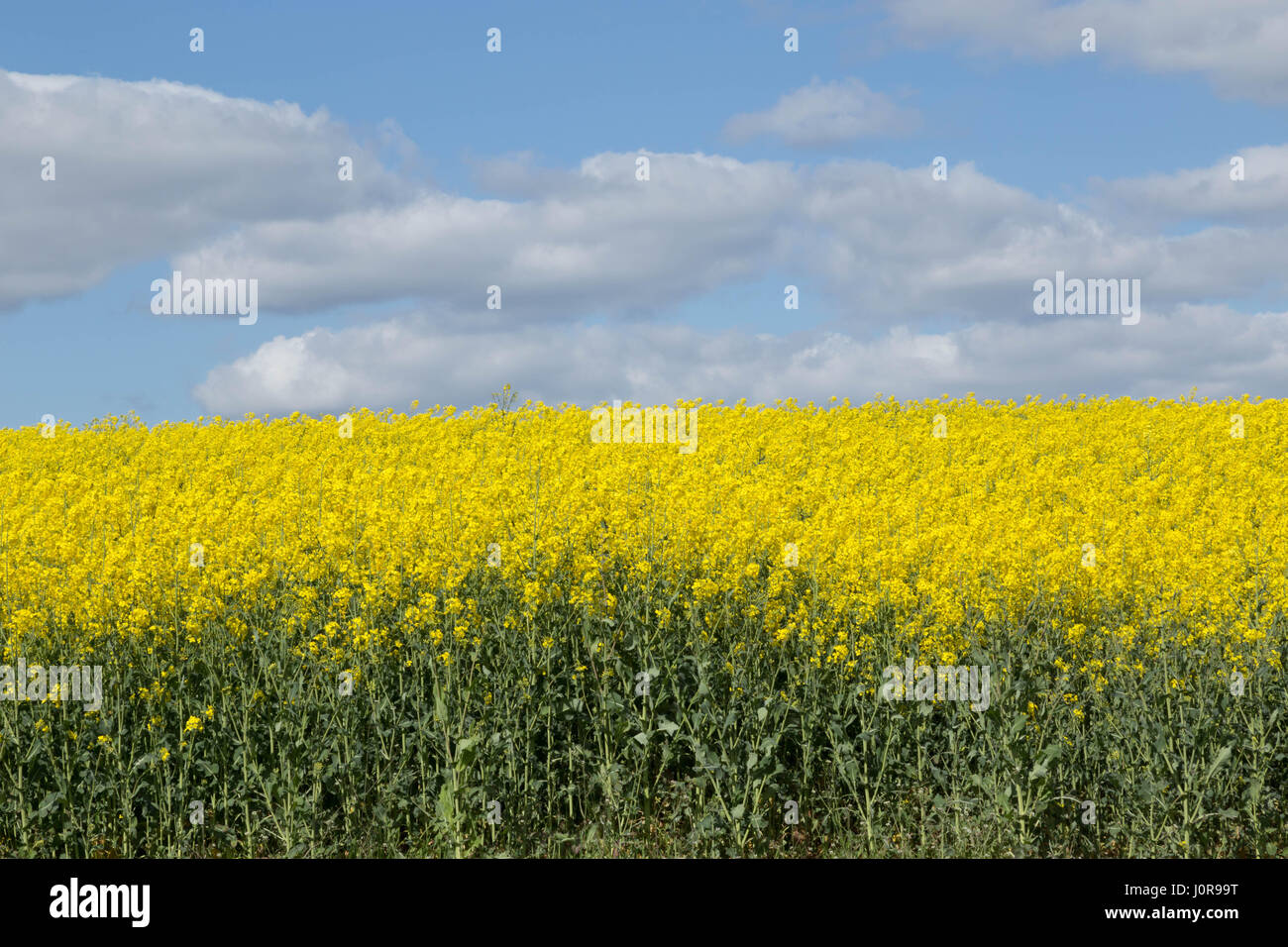 Rapeseed field with blue sky and white fluffy clouds - Stock Image