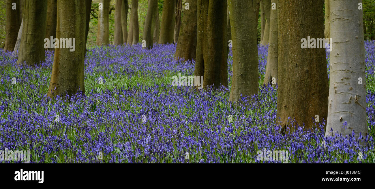 Bluebells in Badbury wood Stock Photo