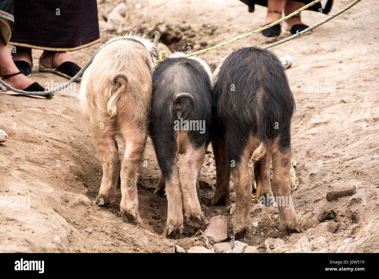 Three pigs, Otavalo, Ecuador, outdoor market.. - Stock Image
