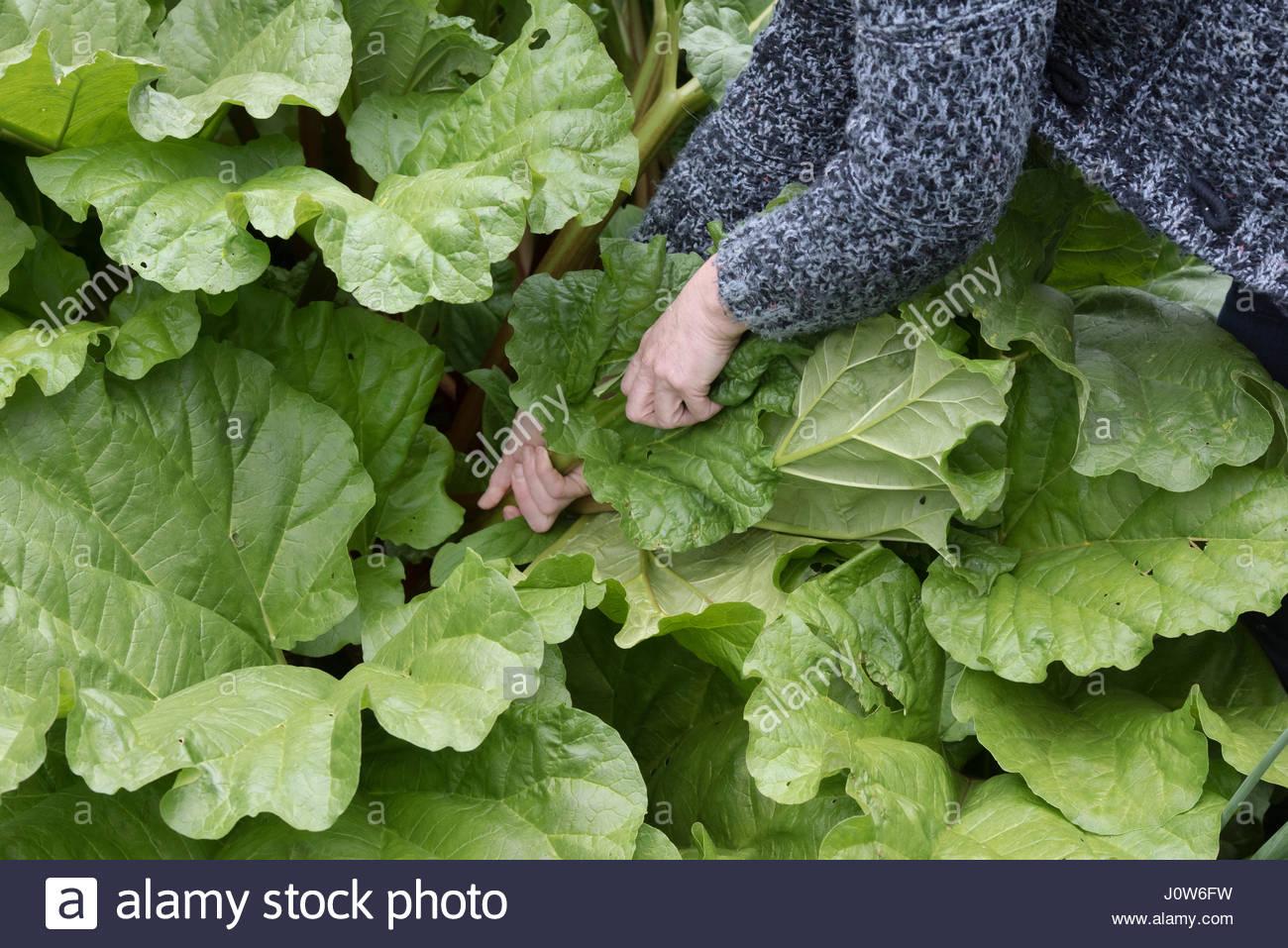 Rheum rhabarbarum. Gardener pulling up rhubarb in spring - Stock Image