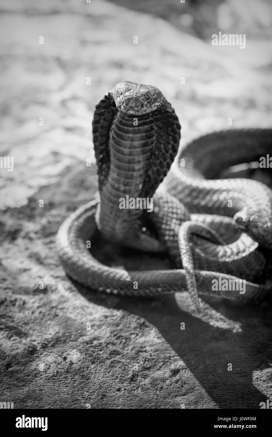 Black and white image of cobra snake tourist attraction, Morocco - Stock Image