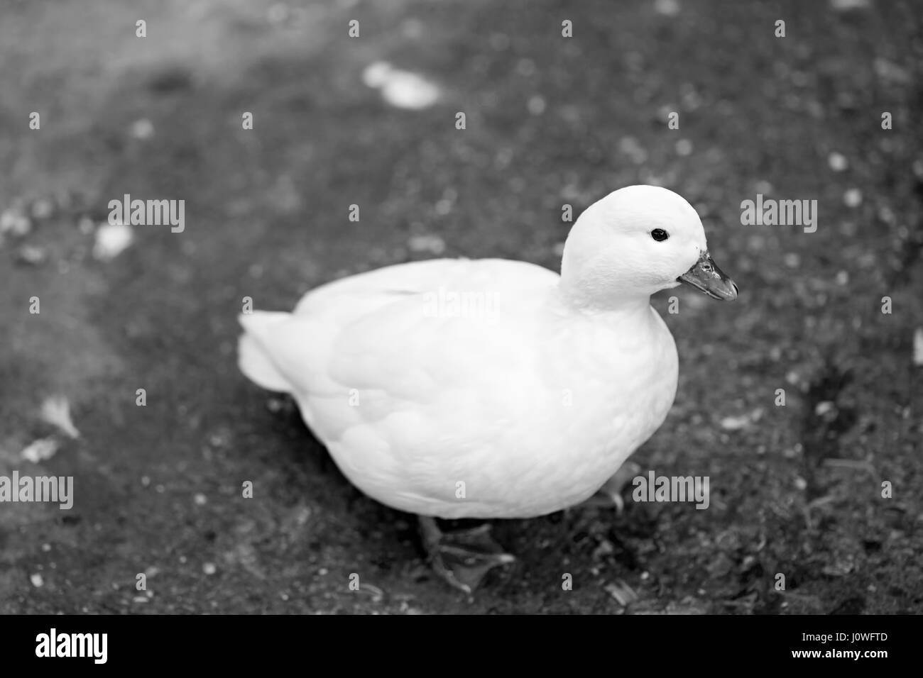 Small white duck black and white photograph - Stock Image