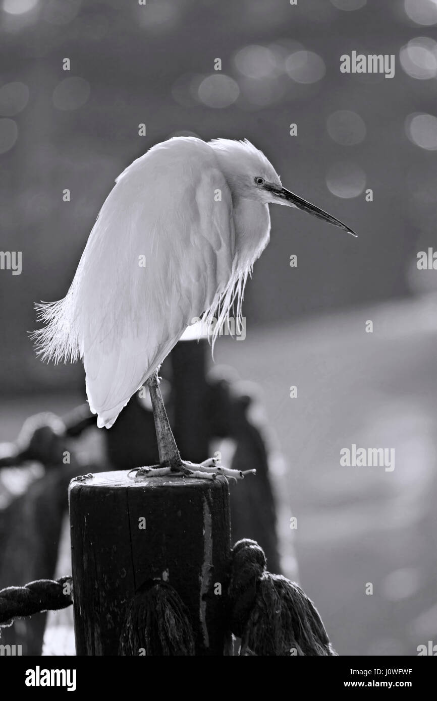 Black and white egret - photo#40