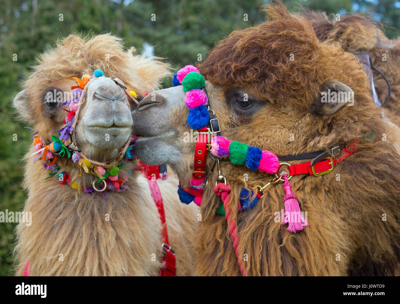 Domesticated Bactrian camels Camelus bactrianus used for camel racing - Stock Image