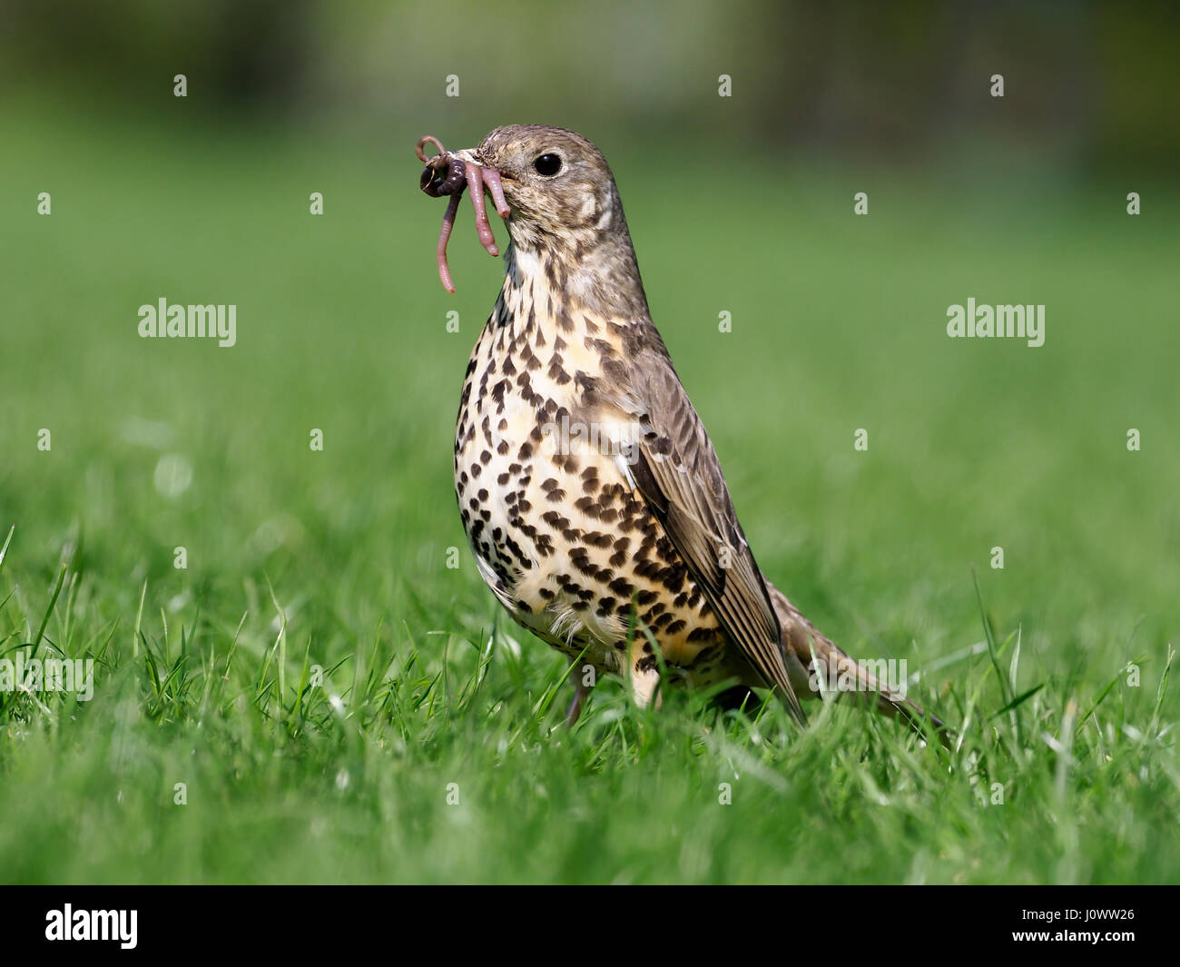 Mistle thrush, Turdus viscivorus, single bird on grass with worms, Warwickshire, April 2017 - Stock Image