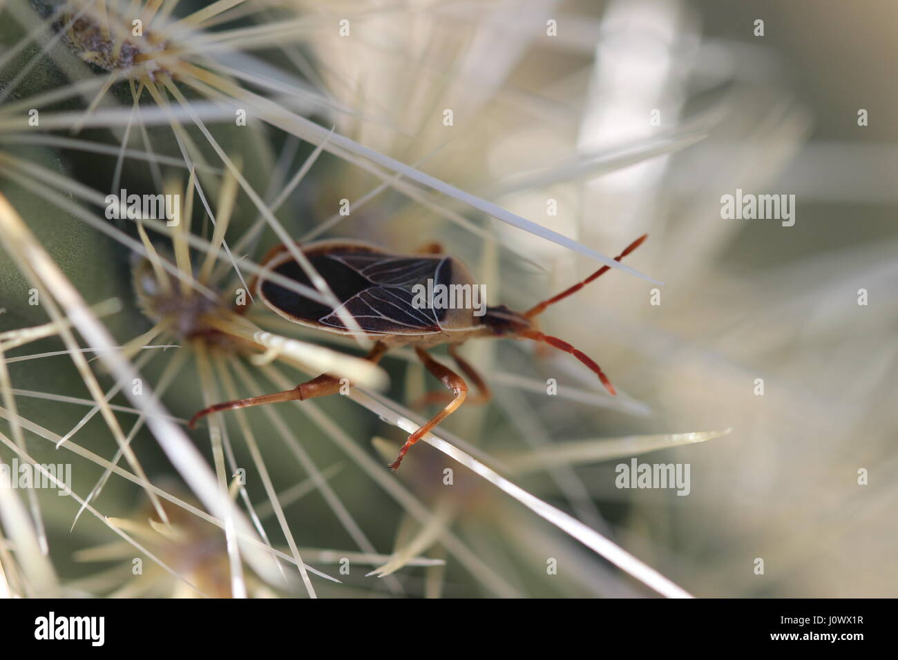 Close up macro of true bug (Heteroptera), on cactus spines in California desert. Stock Photo
