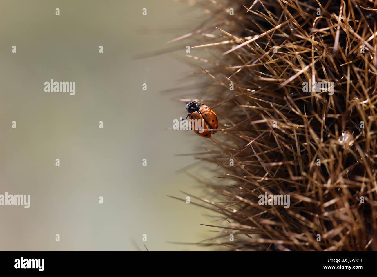 Close up macro of ladybug, or ladybird or ladybeetle (Coccinellidae), on cactus spines in California desert. Stock Photo