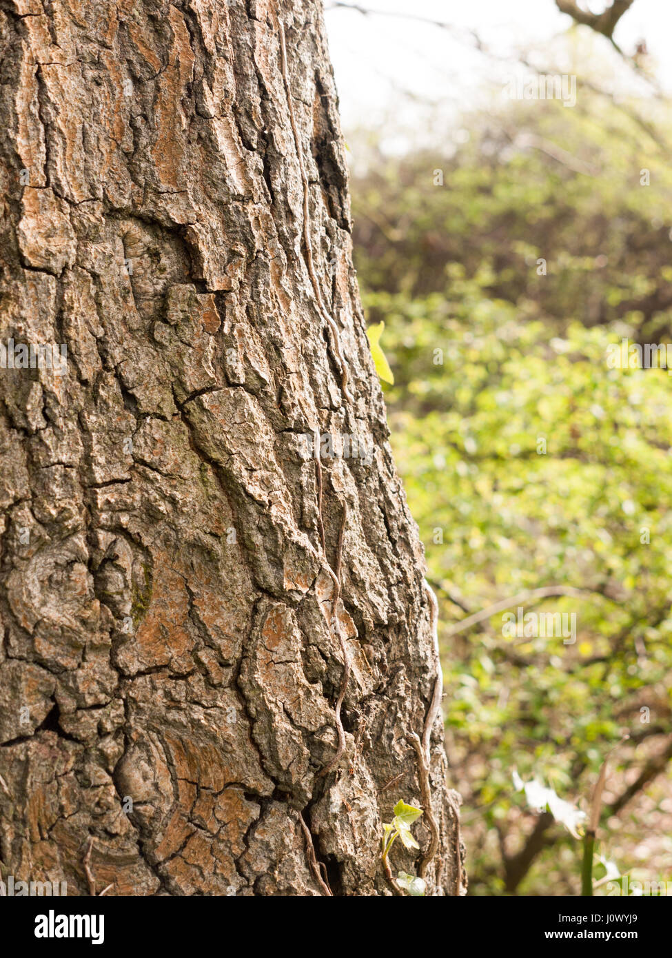 Close up of Tree Bark With Quality Texture and Detail and blurred Background with Grass - Stock Image