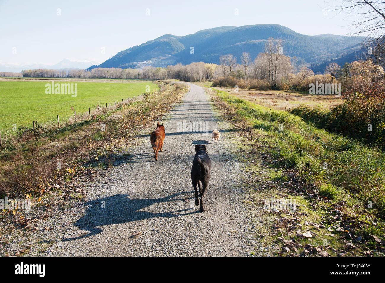 Three dogs walking along dike by the Fraser River Property Released PR_Pumpkin1.pdf PR_Xaviar1.pdf PR_Abby1.pdf - Stock Image