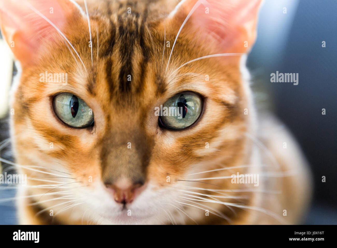 Close up portrait of female Bengal cat eyes and face  Model Release: No.  Property Release: Yes. - Stock Image