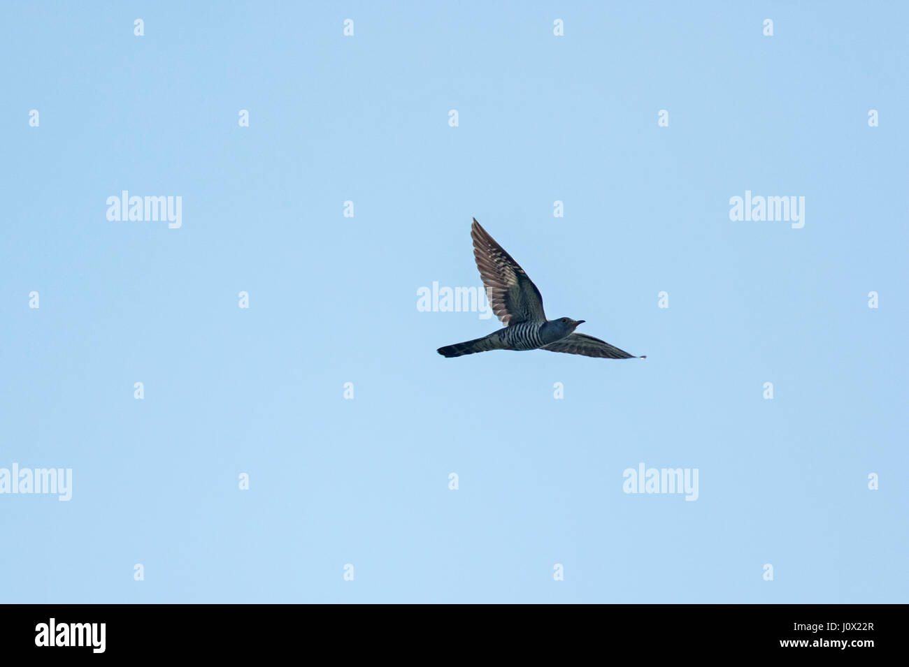 Indian Cuckoo (Cuculus micropterus concretus) in flight, Tmatboey, Cambodia - Stock Image
