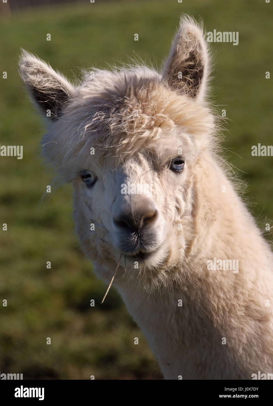 Domesticated Alpacas at their farm in Devon. - Stock Image