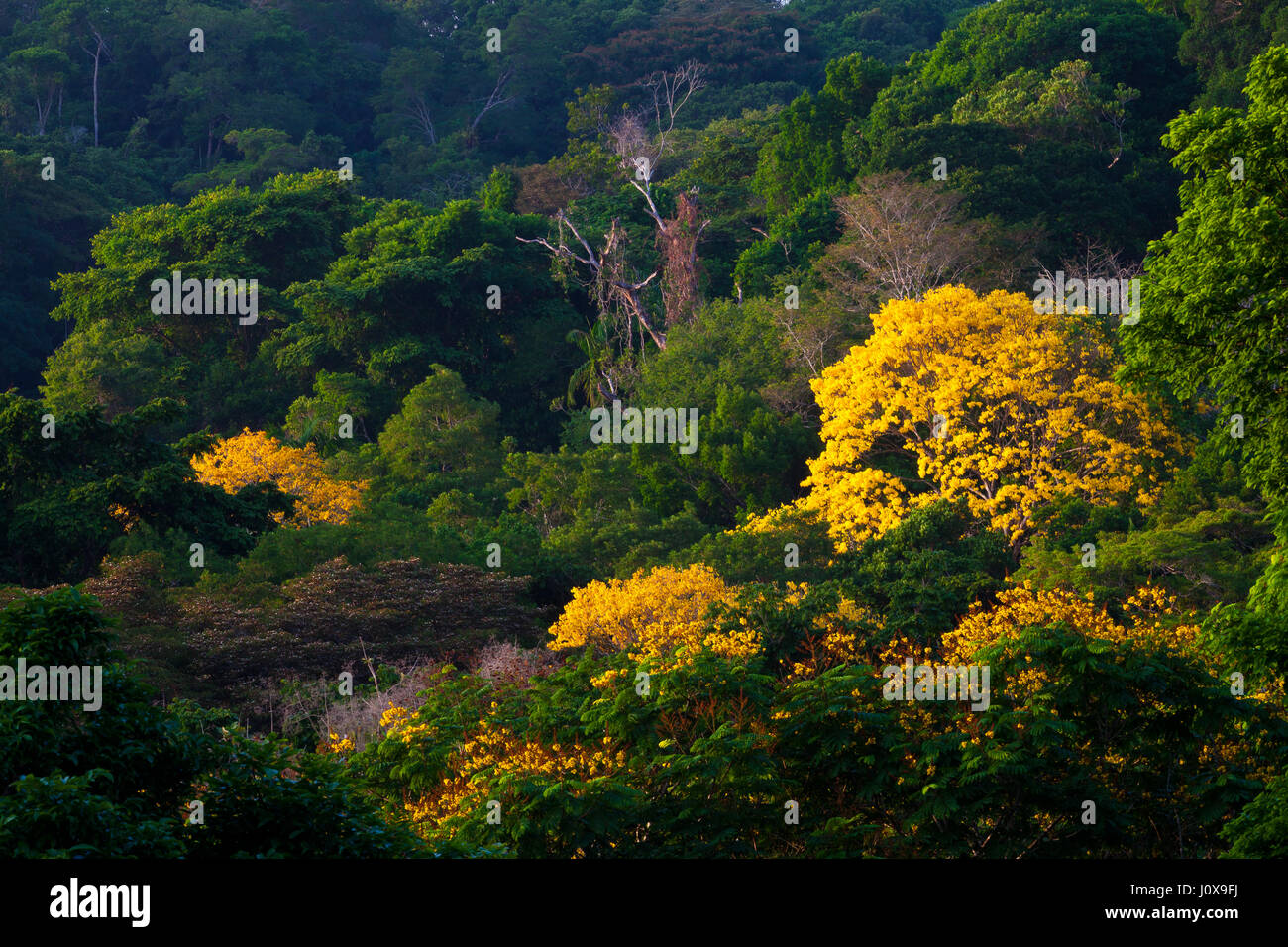 Tropical Rainforest Canopy With Yellow Flowering Trees Stock Photos