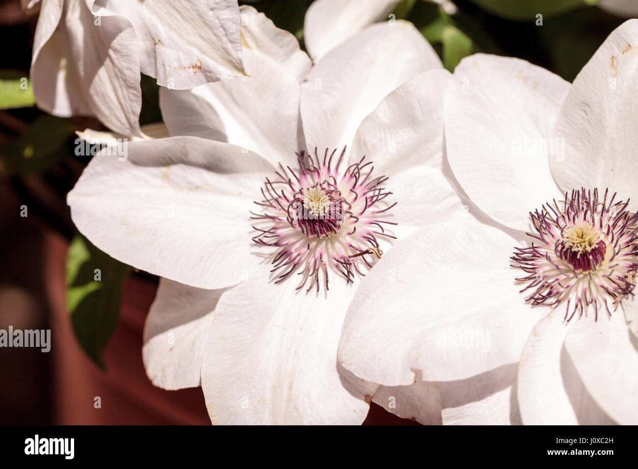 White Fragrant Star Clematis Flower With A Purple Center Blooms On A