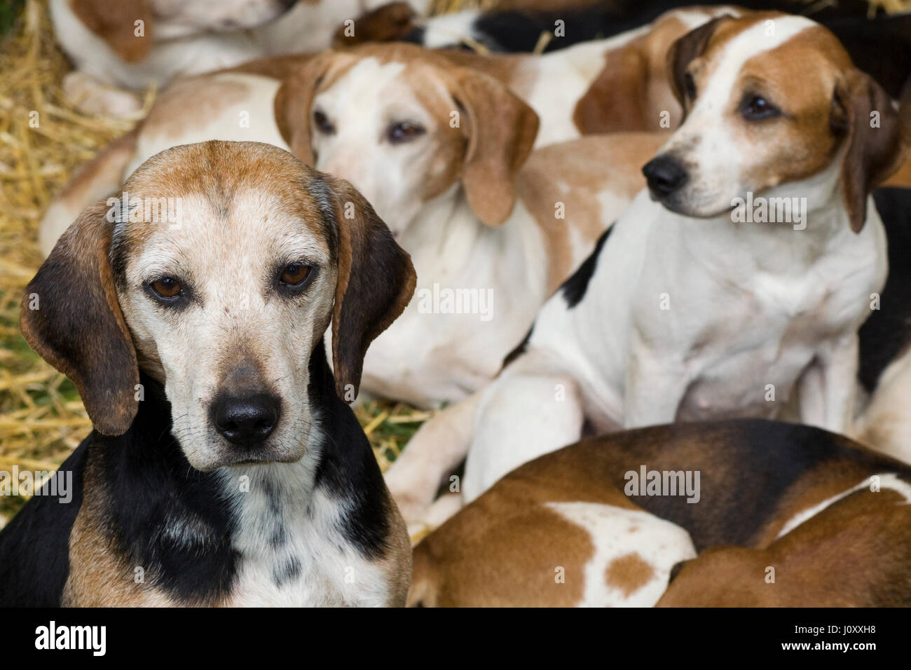 Beagles in kennels - Stock Image