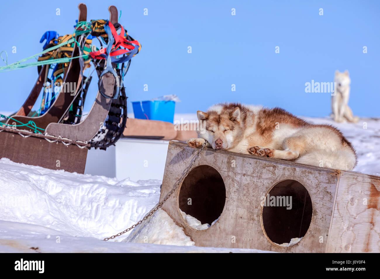 Husky dog in Ilulissat, Greenland - Stock Image