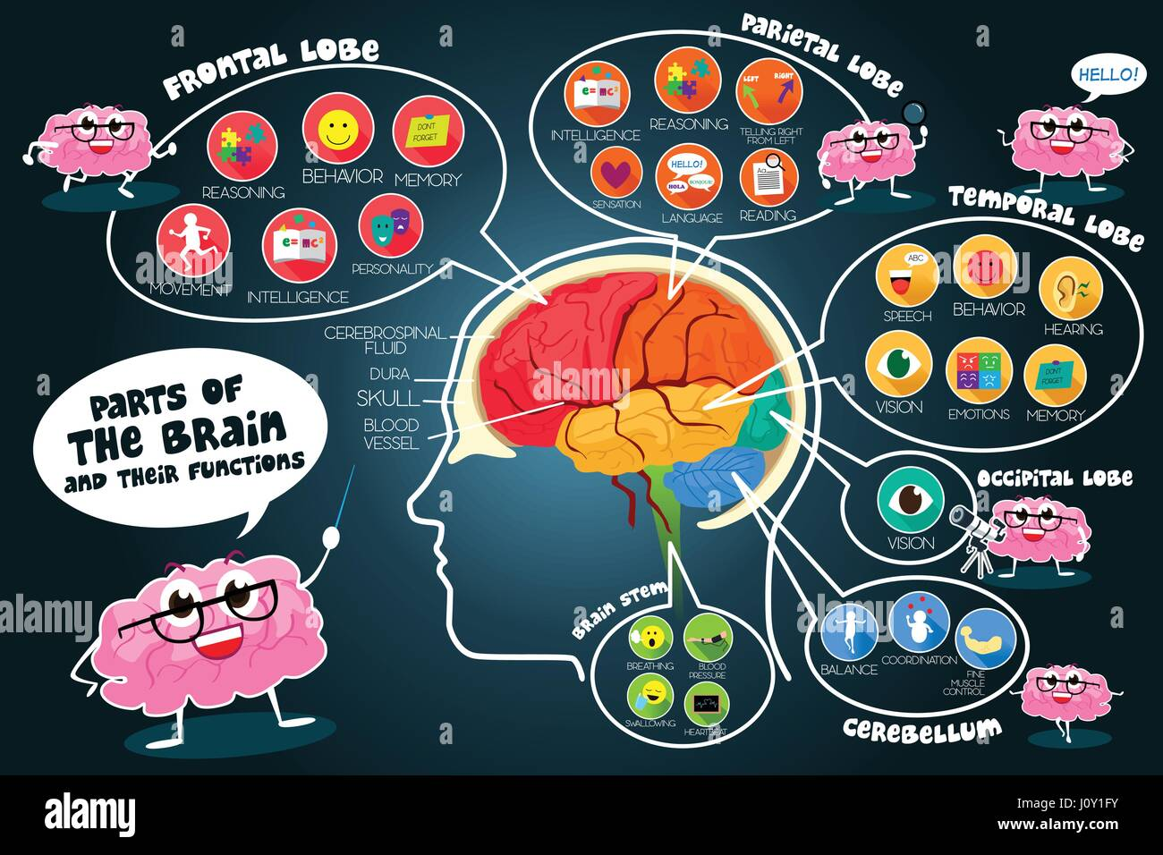 A vector illustration of infographic parts and functions of brain - Stock Image
