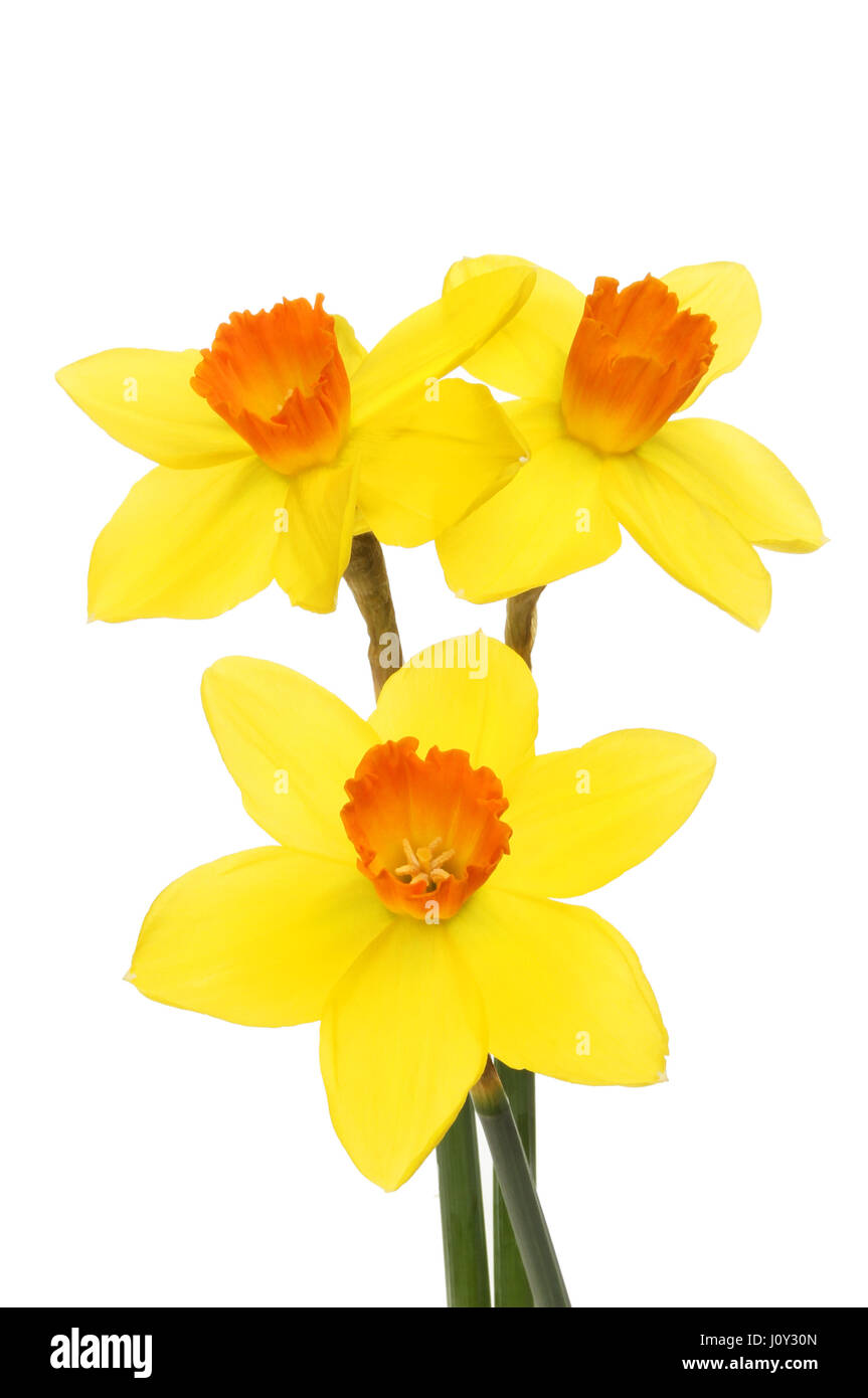 White flowers with yellow centers stock photos white flowers with three bright yellow daffodil flowers with dark orange centers isolated against white stock image mightylinksfo