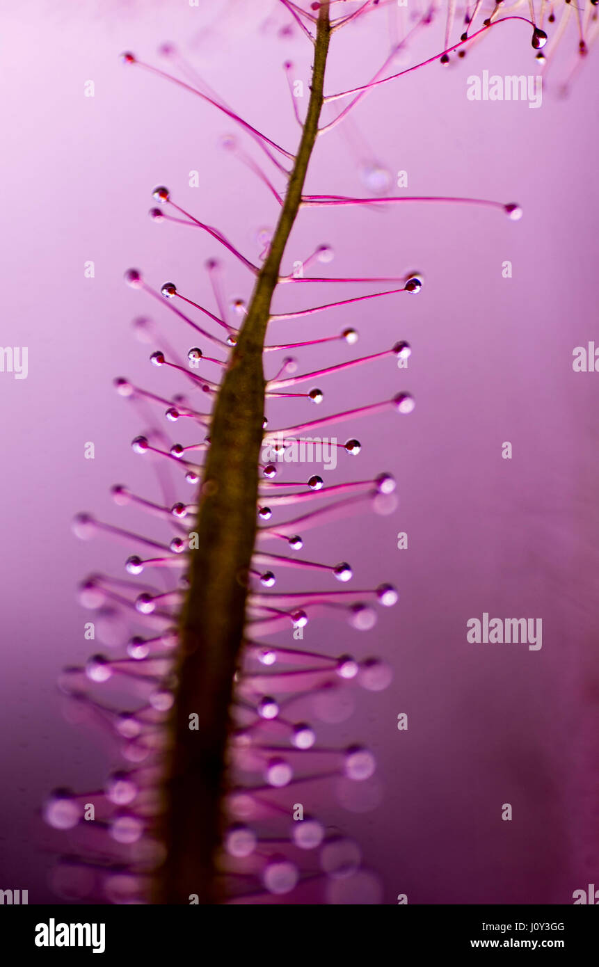 Drosera Dichotoma Fork leaved sunplant, a caniverous plant. similar to the venus fly trap that attracts flies, and - Stock Image