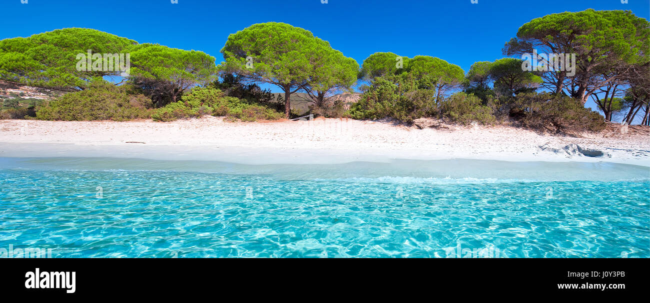 Palombaggia sandy beach with pine trees and azure clear water, Corsica, France, Europe. - Stock Image