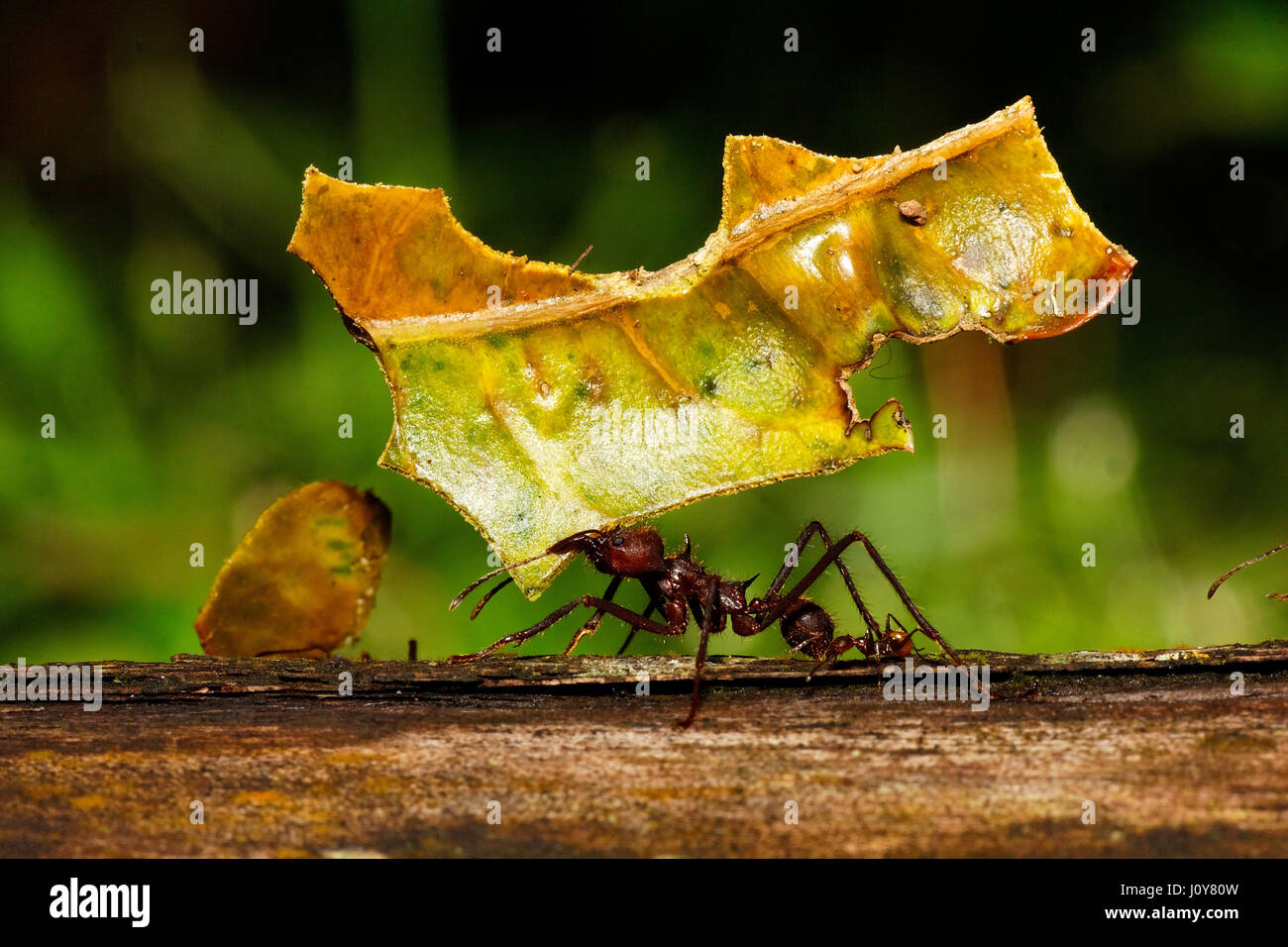 Leafcutter ant - Stock Image