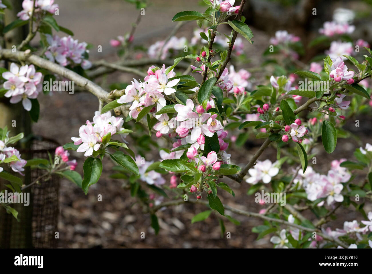Malus domestica 'Herefordshire Russet' blossom in Spring. - Stock Image