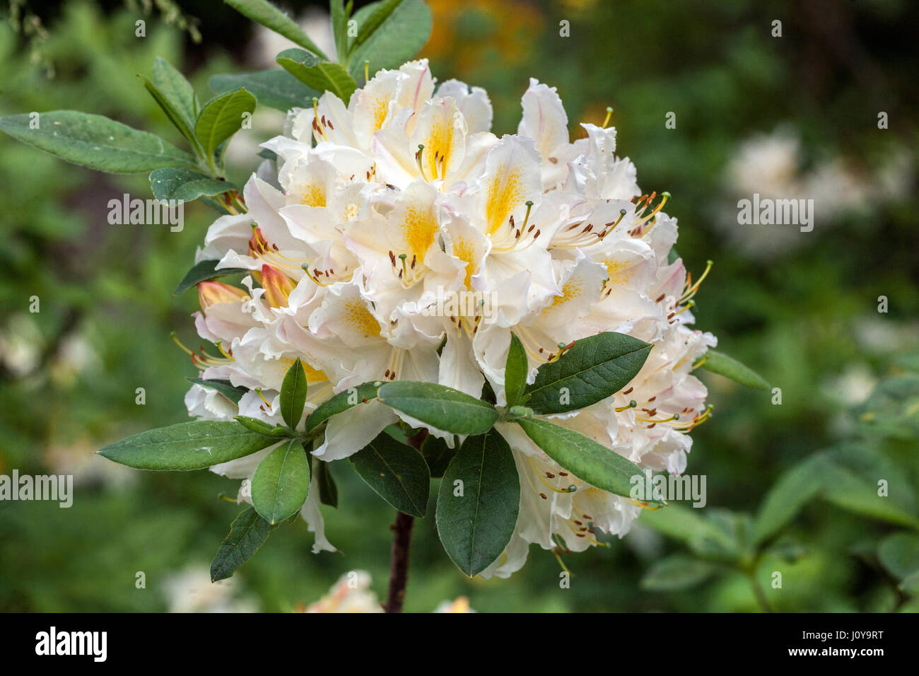 White Rhododendron Flowers Rhododendrons Stock Photos White