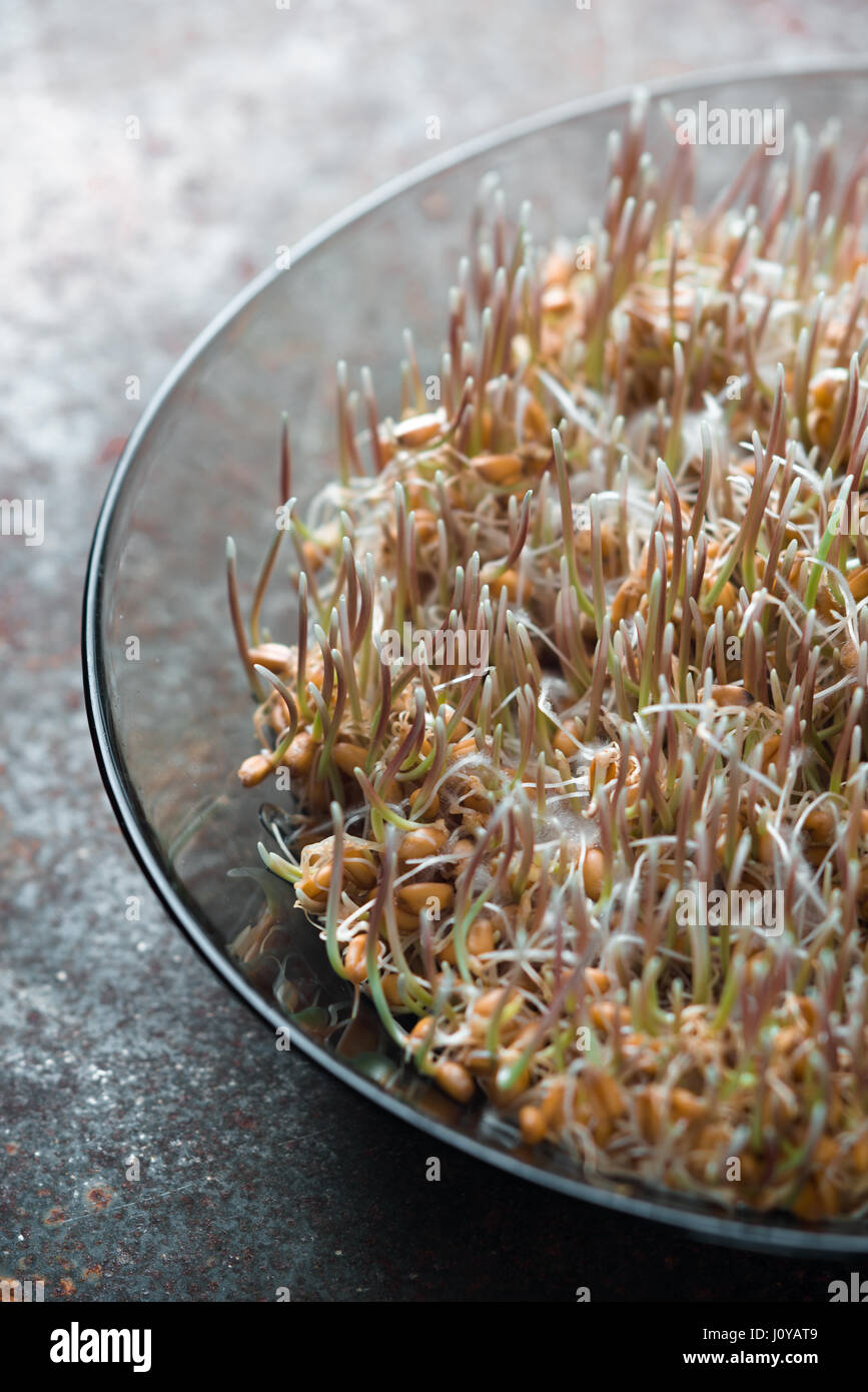 Grain sprouted wheat closeup, healthy food vertical Stock Photo